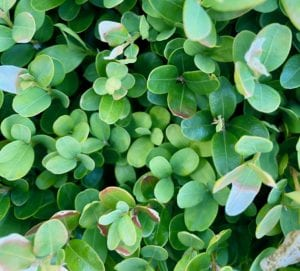 When To Trim A Box Hedge.
