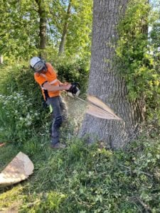 Oak Tree Felling In Hitchin, Hertfordshire