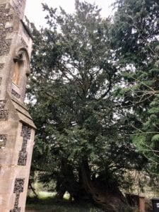 Yew trees within church grounds in the UK.