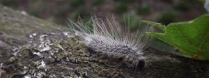 What is the Oak Processionary Moth and how to treat it?